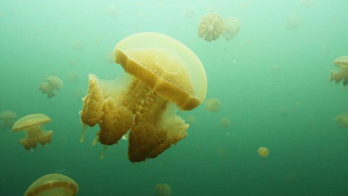 Las medusas abundan en estos lagos marinos de Indonesia