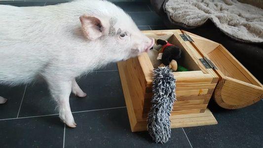 Este cerdo hace la colada y recoge sus juguetes