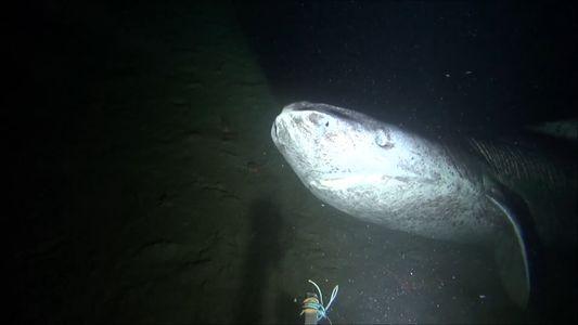 Un raro tiburón de Groenlandia grabado en el Ártico candiense