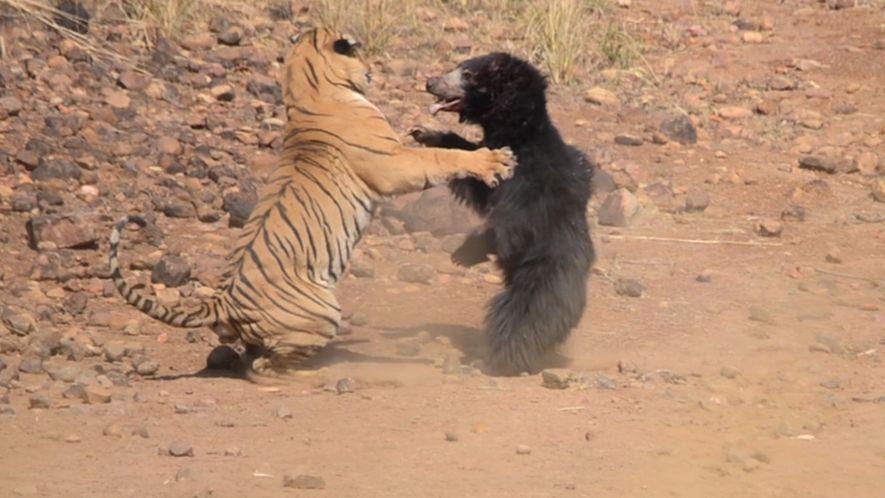Una mamá osa se enfrenta a un tigre para proteger a su cría