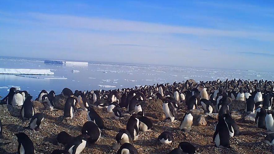 Explora una colonia oculta de 1,5 millones de pingüinos antárticos