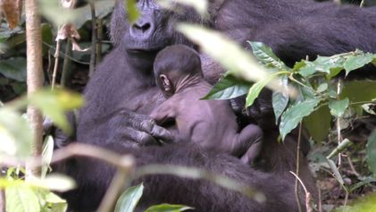 Un raro vídeo de una mamá gorila salvaje cuidando de su cría recién nacida