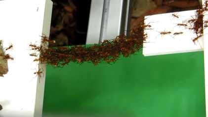 Las hormigas construyen puentes en el aire con sus propios cuerpos