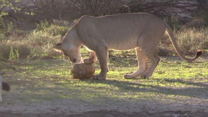 Imágenes de un león intentando devorar a una tortuga