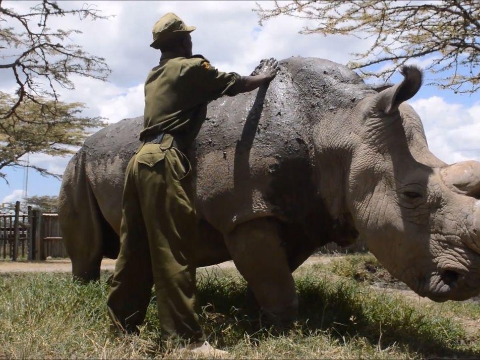 Muere Sudan, el último rinoceronte blanco macho que quedaba en el mundo