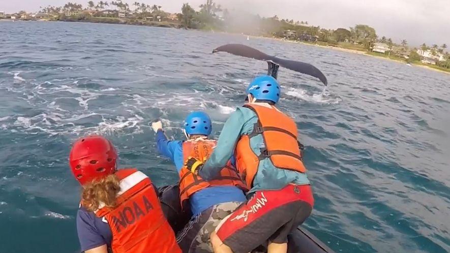 Un equipo de rescate libera a ballenas jorobadas atrapadas en redes de pesca