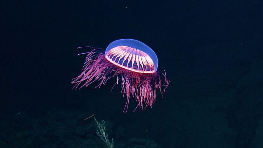 Cautivadoras imágenes de una rara medusa en el fondo del océano