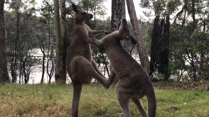 Una pelea entre dos canguros rescatados