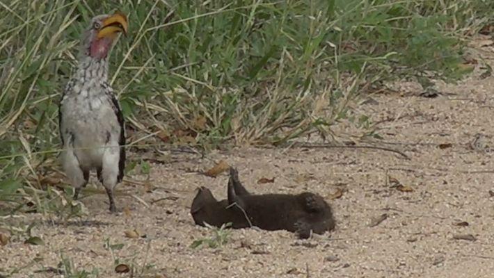 ¿Está esta mangosta haciéndose la muerta o jugando?