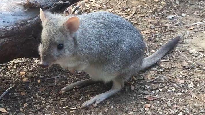 Conoce a Brian el canguro rata, uno de los muchos marsupiales poco conocidos