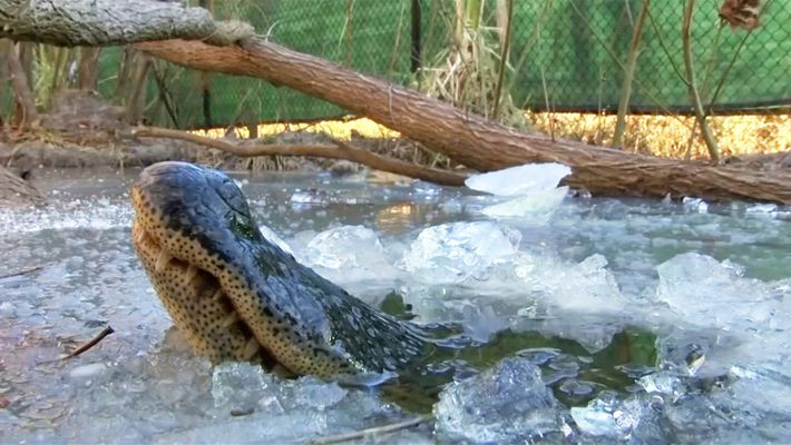"""Estos aligátores """"congelados"""" respiran a través del hielo para sobrevivir"""