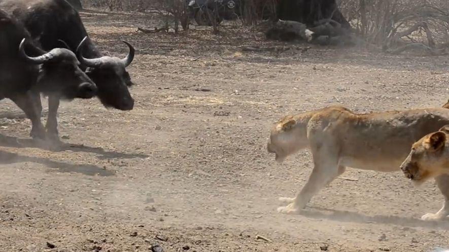 Una manada de leones se enfrenta a más de 500 búfalos: ¿quién ganará?