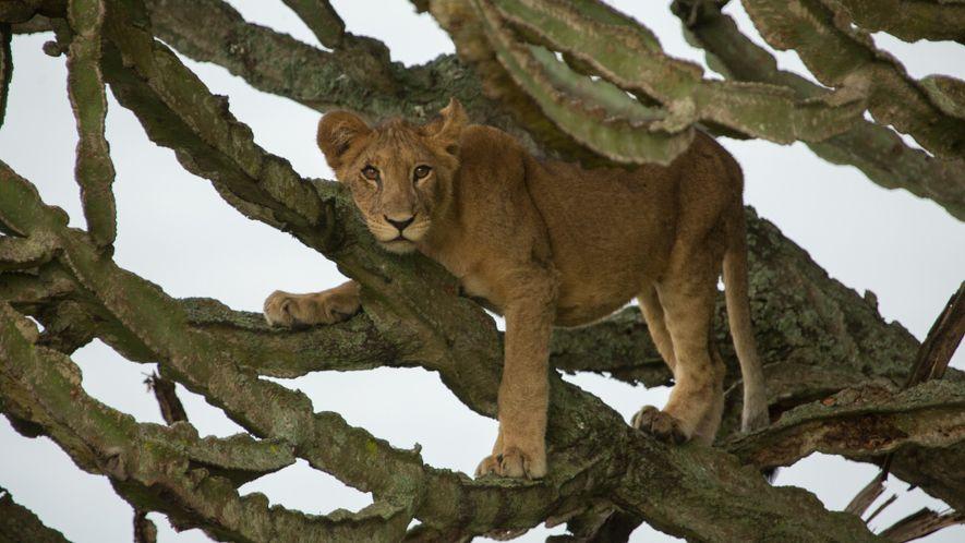 Este explorador reflexiona sobre el trágico envenenamiento de leones en Uganda