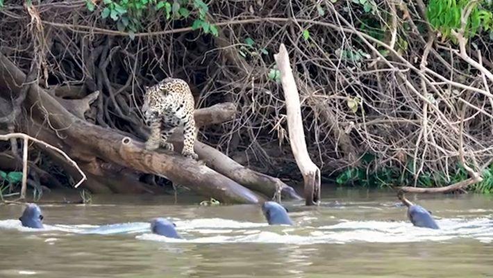 Jaguares contra nutrias gigantes: ¿quién ganará?