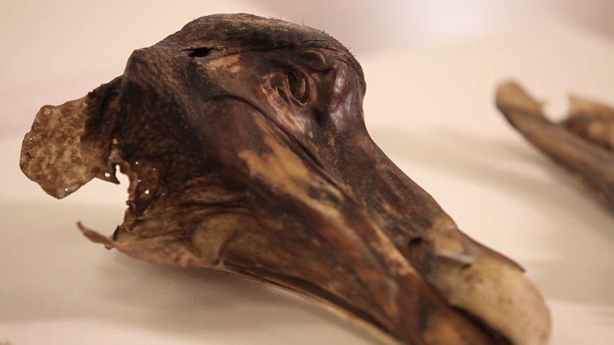 El famoso dodo de Oxford no murió por causas naturales: fue asesinado