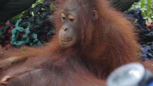 Una madre orangután y su bebé, salvados del enfrentamiento mortal con humanos