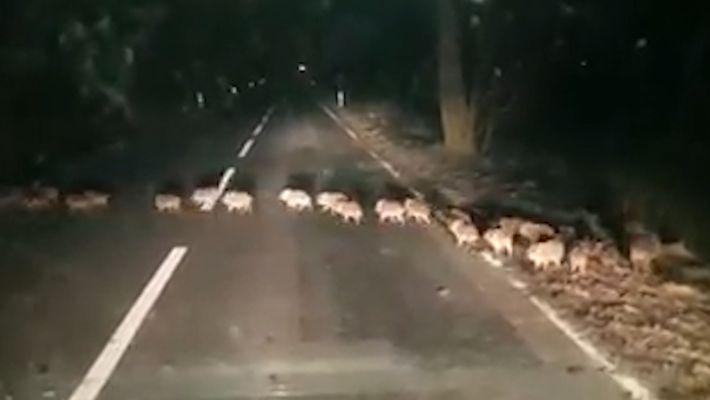 Unas adorables crías de jabalí cruzan una carretera