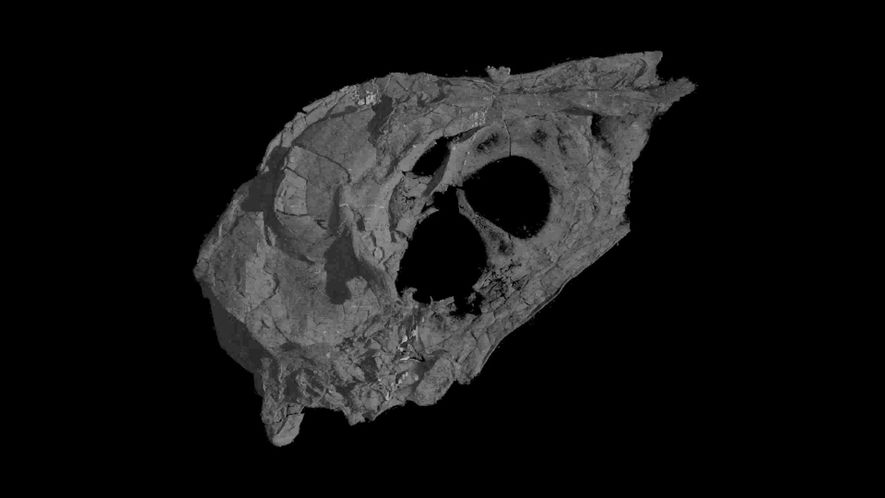 Descubierta un ave de la era de los dinosaurios con un cráneo casi intacto