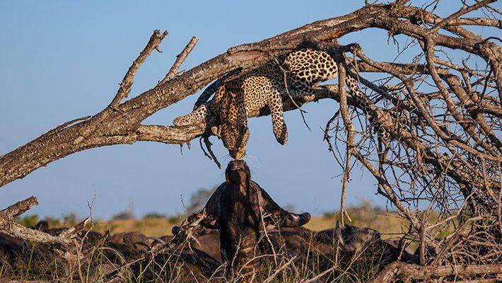 """El curioso """"beso"""" entre un leopardo y un búfalo"""