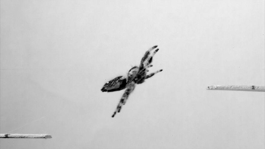 Un equipo de investigadores entrenan a una araña para que salte