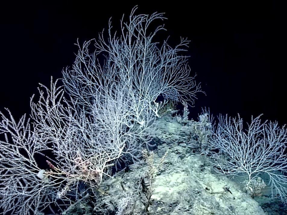Este bosque oculto de coral bambú podrían tener un milenio de antigüedad