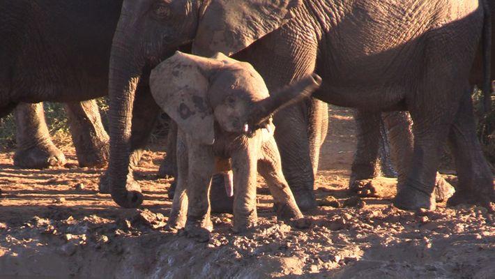 Un adorable bebé elefante gira su trompa como un helicóptero