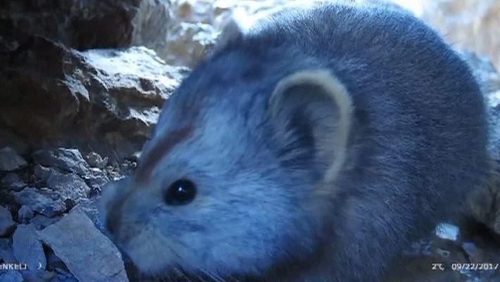 Un raro vídeo del pica de Ilí, un adorable mamífero de montaña
