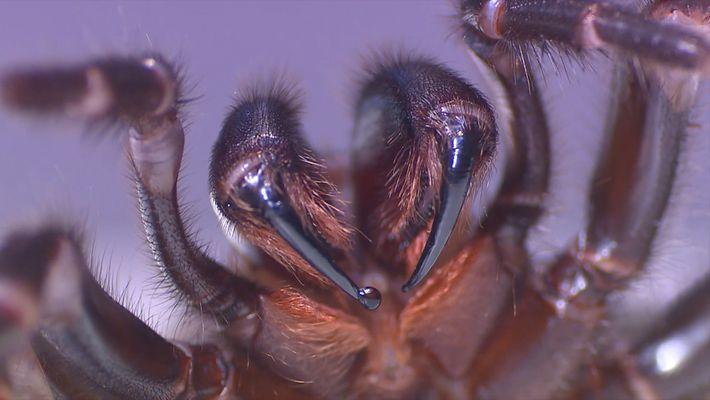 Ordeñar a estas arañas podría salvar vidas