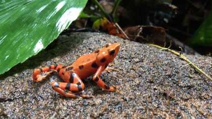 Cientos de ranas arlequín han sido liberadas para intentar salvar a su especie