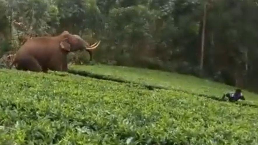 Un elefante salvaje carga contra un hombre en una plantación de té