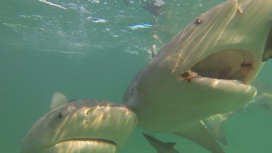 Los imanes podrían ser una solución a la captura incidental de tiburones