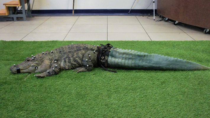 Este aligátor tiene una cola protésica gracias a la tecnología 3D
