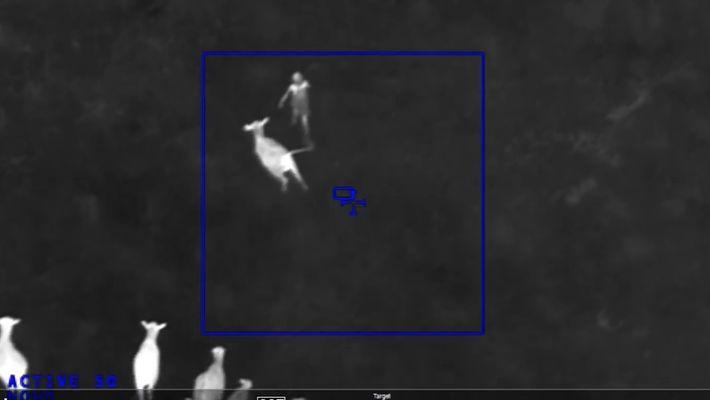 Vacas contra el crimen: por qué estas vacas persiguieron a una sospechosa