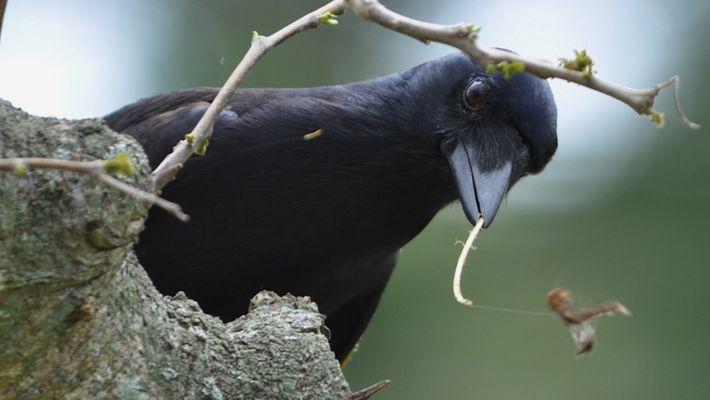 La increíble inteligencia de los cuervos de Nueva Caledonia