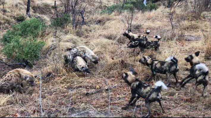 Un clan de hienas roba la presa de una manada de licaones