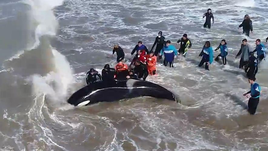 Un equipo de rescate logra salvar a una orca varada