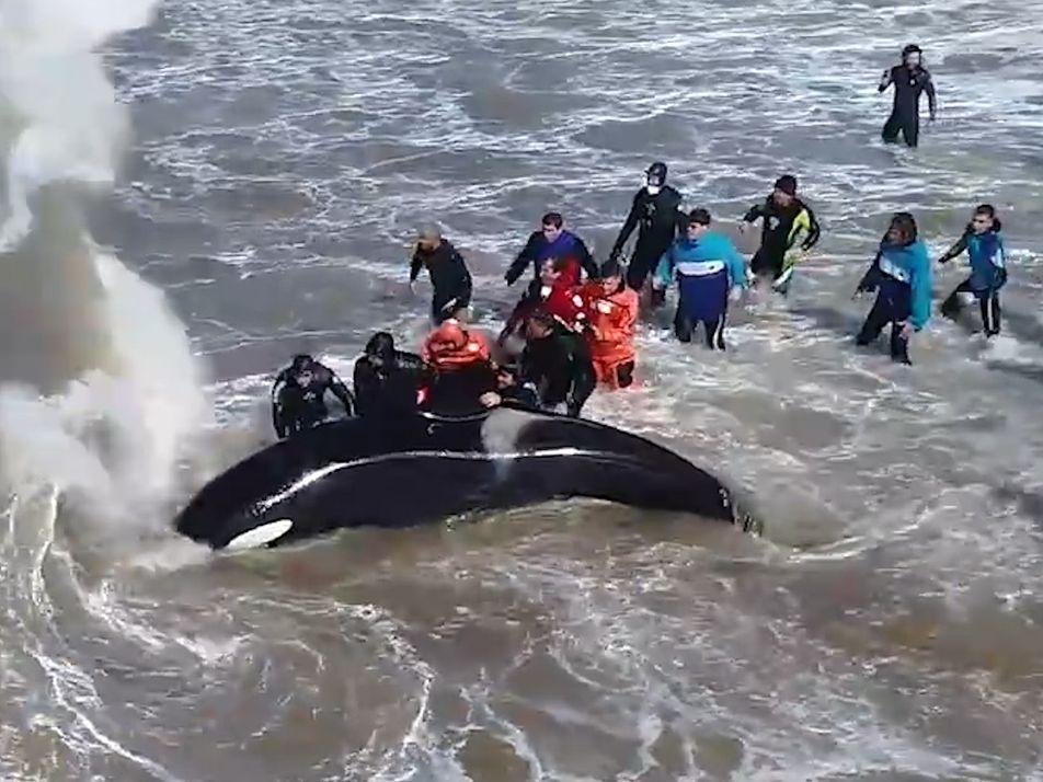 Un equipo de rescate logra salvar a una orca varada en una playa argentina
