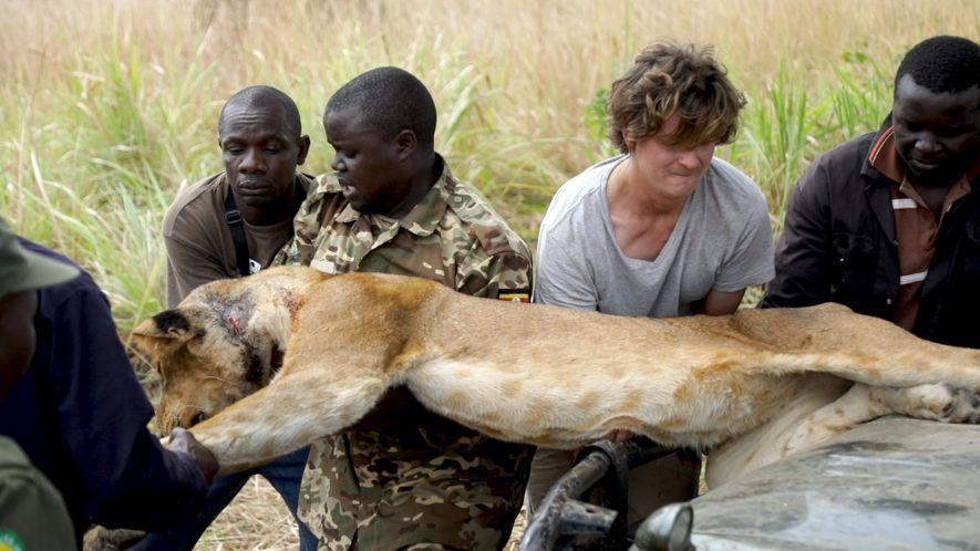 Rescatan a un león para curarle una herida provocada por una trampa