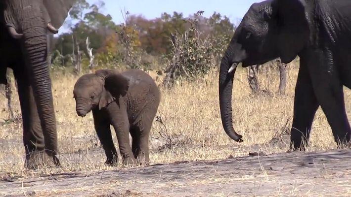 Tristes imágenes de una cría de elefante sin trompa