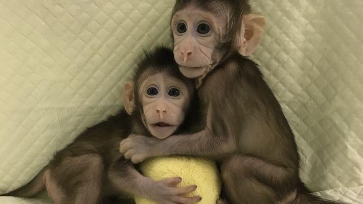 Estos son los primeros monos clonados de su tipo