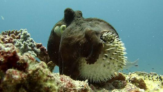 Así es la inusual interacción entre un pulpo y un pez globo