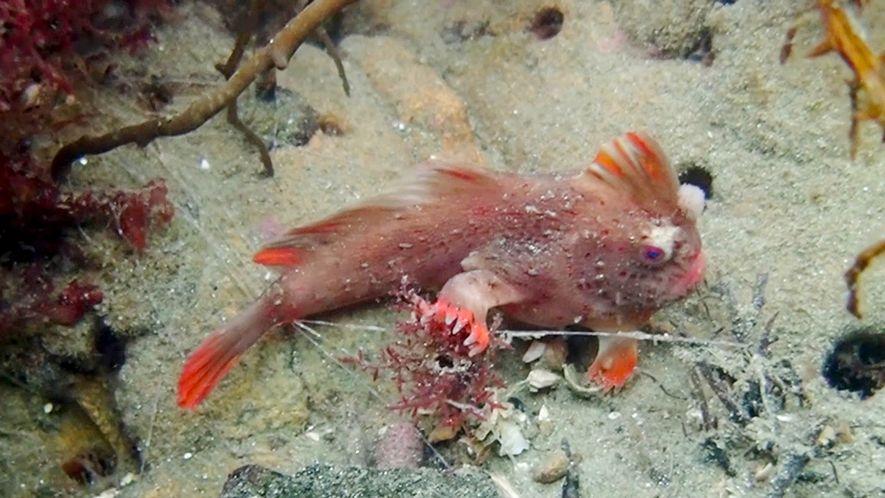 Descubierta en Tasmania una nueva colonia de peces con «manos»