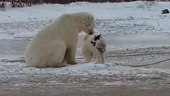 Un perro de trineo y un oso polar se hacen amigos