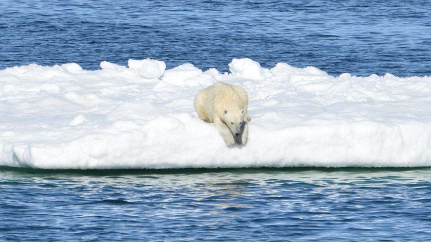 El derretimiento del hielo marino dificulta que los osos polares encuentren alimento