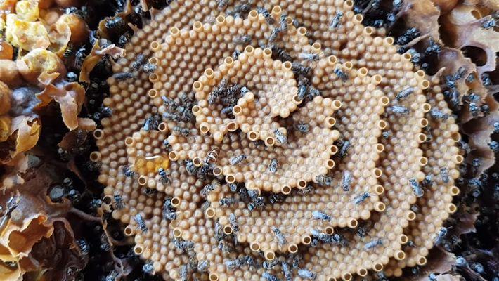 Las abejas sin aguijón australianas crean impresionantes colmenas en espiral