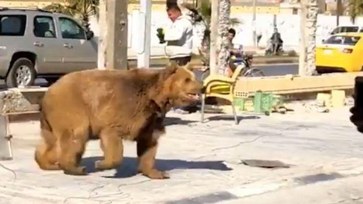 Un oso se escapa de una tienda y vaga por las calles de Basra, Irak