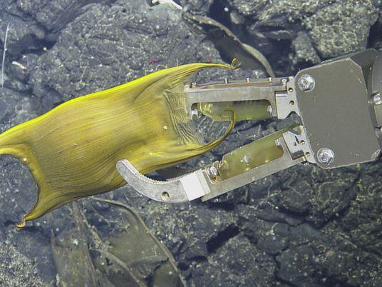 Esta criatura pelágica incuba sus huevos en fuentes hidrotermales