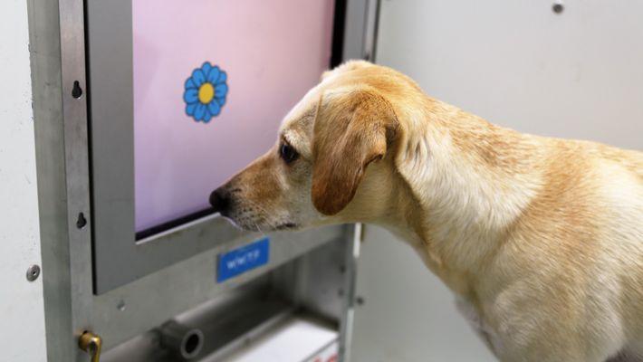 Estos juegos en pantallas táctiles podrían ayudar a los perros a evitar el deterioro cognitivo