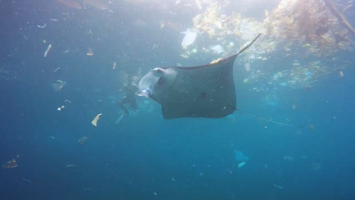Una mantarraya nada en un océano lleno de basura