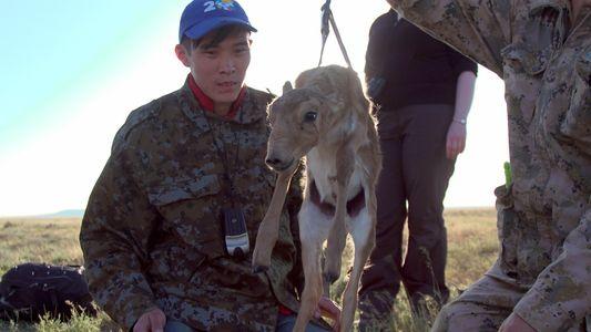Las enfermedades y la caza furtiva amenazan a los saigas